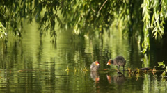 Young coots in the lake under the tree branches in summer, nature, relaxing Stock Footage