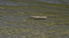 Stock Video Footage of Driftwood swimming in the sea