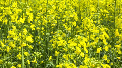 Close up beautiful Rapeseed field blossom.Switzerland - stock footage