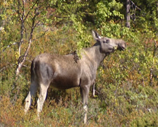 Norway - Eurasian elk (alces alces) moose rasping the twigs of the white birch Stock Footage