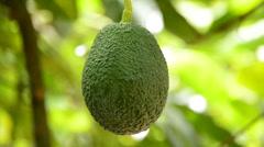 Avocado in tree Stock Footage
