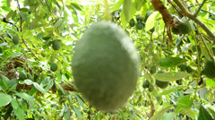 Avocados in tree in focus Stock Footage