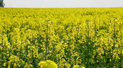 Bees pollinate flowers on a yellow background field. Stock Footage