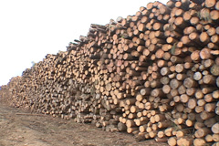 Pine Forest wood industry SD-04 - stock footage
