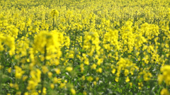 Yellow wildflowers in the wind. The foreground not in focus Stock Footage