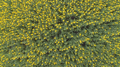 Yellow flowers in the field. Top view, rotation. Aerial. Stock Footage
