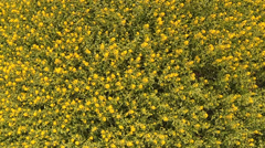 Wildflowers yellow. View to climb up and rotation. Aerial. Stock Footage