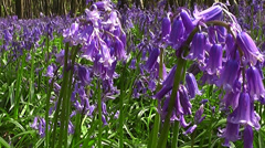 Spring bluebells - stock footage