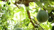 Stock Video Footage of Avocados in tree tilt