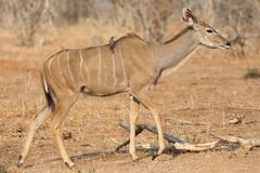 Kudu antelope and bird - stock photo