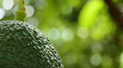 Avocado and peduncle close up Stock Footage