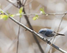 blue gray gnatcatcher - stock photo