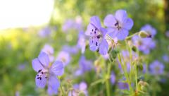 Violet blossoms of wild flower on sunny summer day Stock Footage