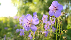 Violet blossoms of wild flower in nature on sunny summer day, relaxing - stock footage
