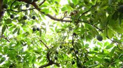 Avocados hanging at tree pan Stock Footage