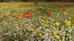 Track back on Field Full of Flowers Stock Footage