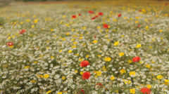 Field Full of Flowers. Left to right track. Stock Footage