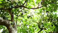 Stock Video Footage of Avocados at tree pan