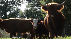Highland Cattle Grazing, Norfolk, England, United Kingdom Stock Footage