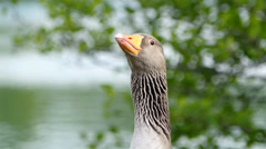 Funny goose looking at the camera Stock Footage