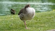 Stock Video Footage of Funny goose standing in one leg