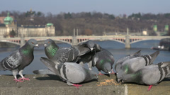 Group of pigeons eating bird seed slow motion Stock Footage