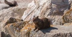 Wild squirrel runs off of rock 4k Stock Footage