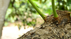 Tree and leafs of avocado tilt Stock Footage