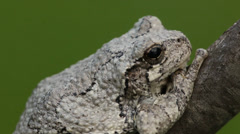 Gray Tree Frog (Hyla versicolor) in a tree Stock Footage