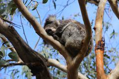 Great Ocean road - grey road a koala sleeps in the tree Stock Photos