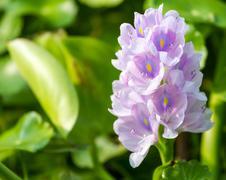 Water hyacinth Stock Photos