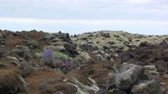 Flowers growing on lava rocks among moss Stock Footage