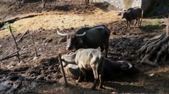 Agriculture background:  buffalos standing on the field with farmer house behind Stock Footage