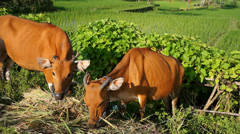 Young brown cows, Lombok, Indonesia Stock Footage