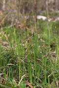 grass blooms - stock photo