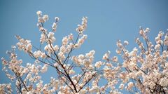 Japanese cherry blossom in spring Stock Footage