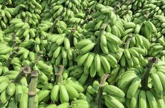 Pile of unripe banana called kluay khai - stock photo