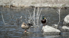 Mallard ducks in Kawaguchiko lake Stock Footage