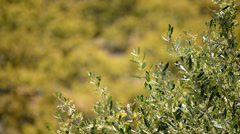 Olive branch Stock Footage