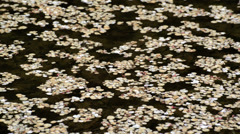Petals of cherry blossom on the water surface - stock footage