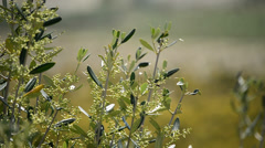 Olive branch close up Stock Footage