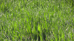 The  dewdrops on green grass in the sunshine Stock Footage