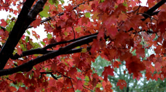 Autumn Leaves Changing Color Stock Footage
