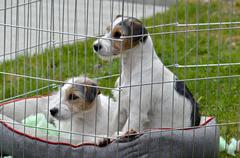 Cute Terrier puppies in a pen Stock Photos