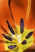 Flower tulip stamens Stock Photos