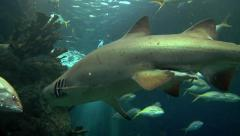 Reef Shark, Grouper & Other Reef Fish - stock footage