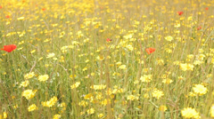 Field Full of Flowers track from left to right Stock Footage