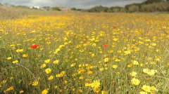 Field Full of Flowers track from left to right with wind Stock Footage