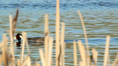 Courtship Great Crested Grebe Stock Footage