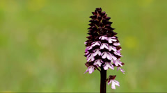 Military orchid (Orchis militaris) Stock Footage